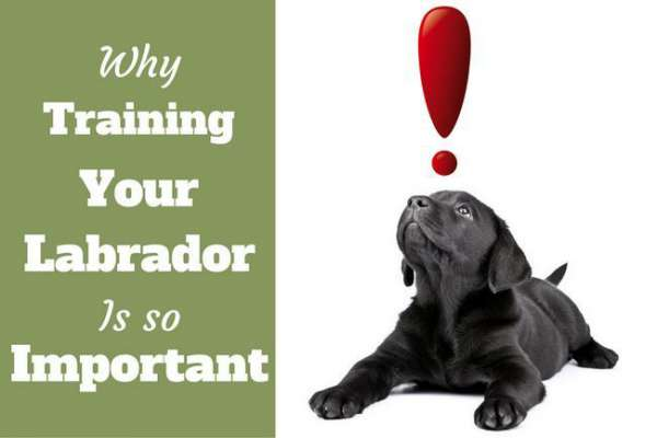 The importance of labrador training