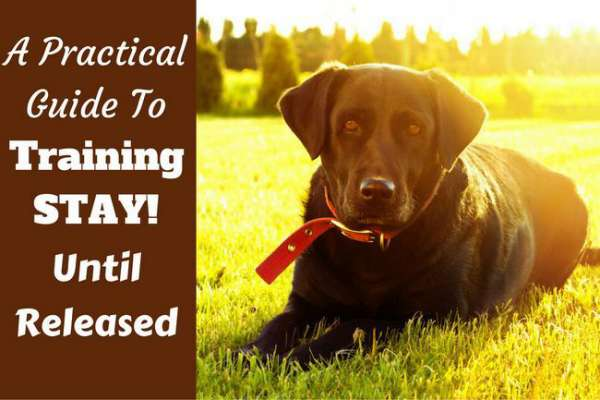Train your labrador to stay sitting or lying down until released